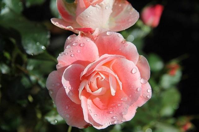 домашний гидролат розы