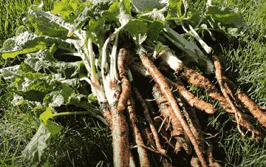 настойка корня лопуха