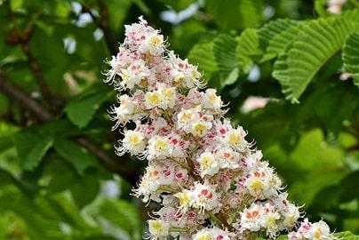 настойка цветов конского каштана