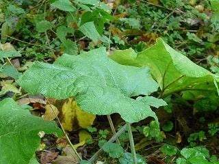 Использование листьев репейника