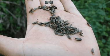 применение семян лопуха