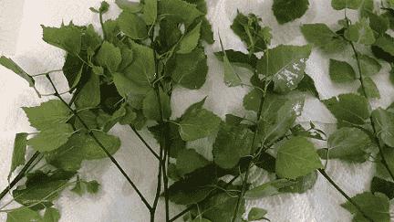 Березовые листья сушатся